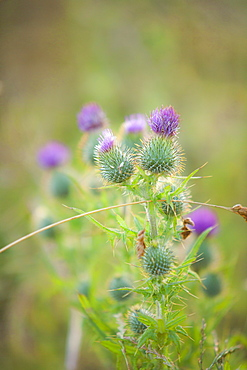 Scottish thistle in a summer meadow, Orkney Islands, Scotland, United Kingdom, Europe