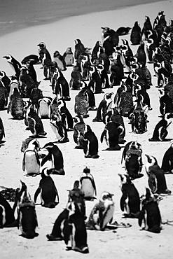 Jackass penguins on beach, South Africa