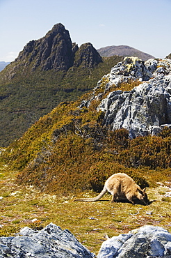 Peaks of Cradle Mountain, 1545m, and wallaby feeding on shrubs on the Overland Track, Cradle Mountain Lake St. Clair National Park, part of Tasmanian Wilderness, UNESCO World Heritage Site, Tasmania, Australia, Pacific
