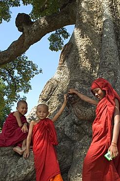 Trainee monks in tree, Mingun, Mandalay district, Myanmar (Burma), Asia