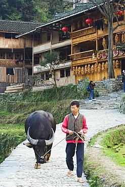 Farmer walking with his water buffalo, Langde village, Guizhou Province, China, Asia