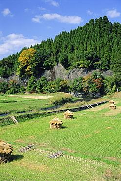 Harvest time, Kokonoe, Oita, Japan