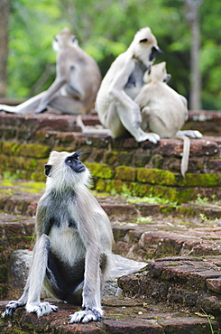 Tufted grey langurs (Semnopithecus priam), Polonnaruwa, North Central Province, Sri Lanka, Asia