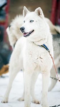 Huskies at an international dog sled race, La Grande Odyssee Savoie Mont Blanc, Haute-Savoie, France, Europe