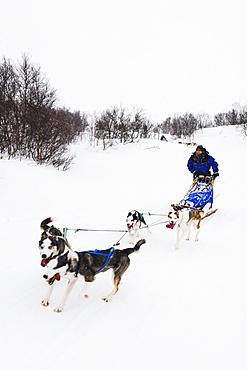 Dog sled ride, Abisko National Park, Lapland, Arctic Circle, Sweden, Scandinavia, Europe