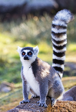Ring tailed lemurs (Lemur catta), Anja Reserve, Ambalavao, central area, Madagascar, Africa