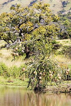 Weaver birds nests, Akagera National Park, Kigali, Rwanda, Africa