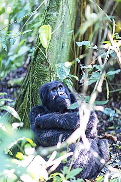 Gorilla, Rushegura Group, (Gorilla gorilla beringei), Bwindi Impenetrable Forest National Park, UNESCO World Heritage Site, Buhoma, Uganda, Africa