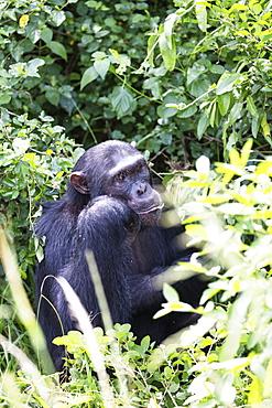Common Chimpanzee (Pan troglodytes), Kyambura Gorge, Queen Elizabeth National Park, Uganda, Africa