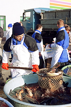 Vendor fishing out live carp from large tub on the street for Christmas Eve, a tradition dating back hundreds of years, Prague, Czech Repubic, Europe