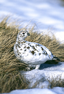 Female ptarmigan (Lagopus mutus), moulting from winter plumage in April, Cairngorm, Scotland, United Kingdom, Europe