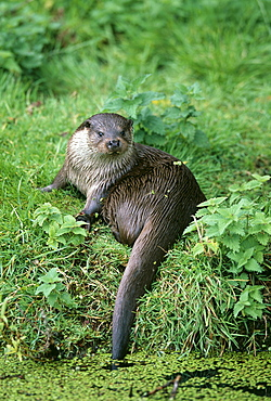 Otter (Lutra lutra), in summer, United Kingdom, Europe