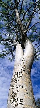 Vandalised moringa tree, Etosha, Namibia, Africa