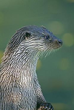 Otter (Lutra lutra), Shetland, Scotland, United Kingdom, Europe