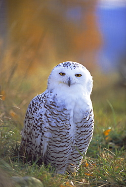 Snowy owl, Alaska, USA, North America