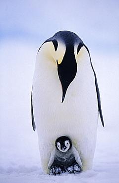 Emperor penguin (Aptenodytes forsteri), with chick being brooded, Weddell Sea, Antarctica, Polar Regions