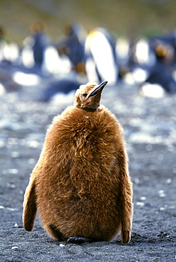 King penguin (Aptenodytes patagonicus), chick on beach, Gold Harbour, South Georgia, South America