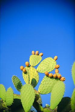 Prickly pear cactus, Sardinia, Italy, Mediterranean, Europe