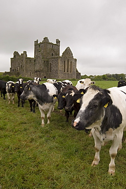 Dunbrody Abbey, Dumbrody, County Wexford, Leinster, Republic of Ireland (Eire), Europe