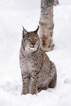 European Lynx (Lynx lynx), Polar Park, Norway, Troms, Norway, Scandinavia, Europe