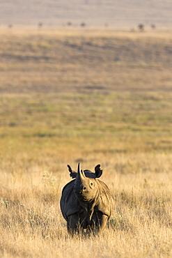 Black rhino (Diceros bicornis), Lewa Wildlife Conservancy, Laikipia, Kenya, East Africa, Africa