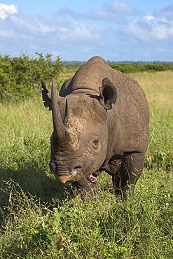 Black rhino (Diceros bicornis) male, Phinda private game reserve, KwaZulu Natal, South Africa, Africa
