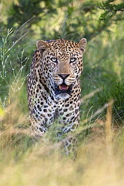 Male leopard (Panthera pardus), Phinda game reserve, KwaZulu Natal, South Africa, Africa