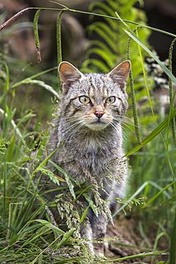 Scottish wildcat (Felis sylvestris), captive, United Kingdom, Europe