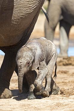 Elephants (Loxodonta africana) new-born, Addo Elephant National Park, South Africa, Africa
