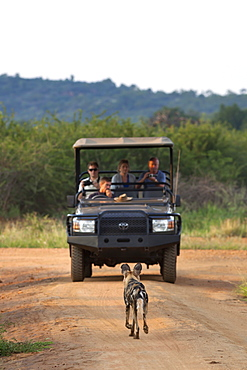 African wild dog (Lycaon pictus) and game viewing vehicle, Madikwe Game Reserve, South Africa, Africa