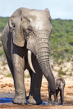 African elephants (Loxodonta africana) adult and baby, Addo National Park, Eastern Cape, South Africa, Africa