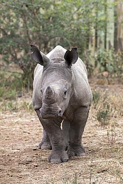 Ithuba, white rhino calf (Ceratotherium simum) orphaned by poaching, Thula Thula Rhino Orphanage, KwaZulu-Natal, South Africa, Africa