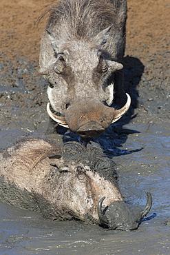 Warthog (Phacochoerus aethiopicus) mudbathing, Mkhuze game reserve, KwaZulu-Natal, South Africa, Africa