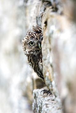 Little owl (Athene noctua) perched in stone barn, captive, United Kingdom, Europe