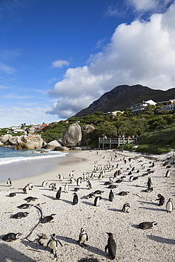 African penguins (Spheniscus demersus) on Foxy Beach, Table Mountain National Park, Simon's Town, Cape Town, South Africa, Africa