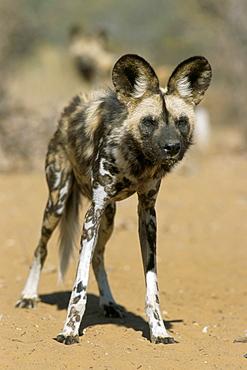 Wild dog (Lycaon pictus) in captivity, Namibia, Africa