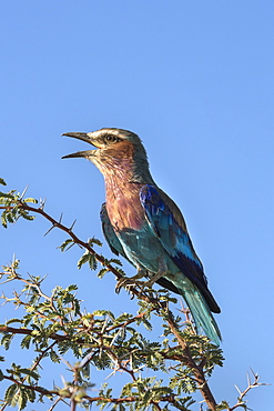 Lilac-breasted roller (Coracias caudatus), Kgalagadi Transfrontier Park, Northern Cape, South Africa, Africa