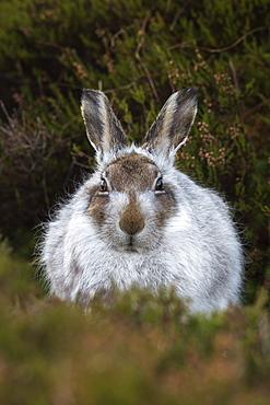 Mountain hare (Lepus timidus) in winter coat, Scottish Highlands, Scotland, United Kingdom, Europe