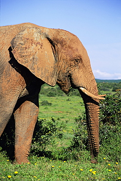 African elephant, Loxodonta africana, covered in mud, Addo, South Africa, Africa