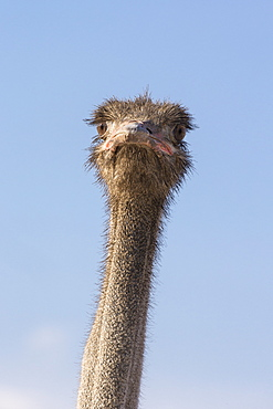 Ostrich (Struthio camelus), Kgalagadi Transfrontier Park, South Africa, Africa