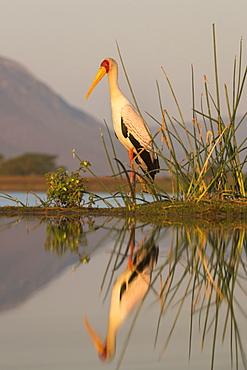 Yellowbilled stork (Mycteria ibis), Zimanga private game reserve, KwaZulu-Natal, South Africa, Africa