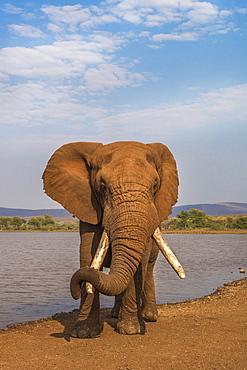Elephant (Loxodonta africana) resting trunk on its tusk, Zimanga game reserve, KwaZulu-Natal, South Africa, Africa