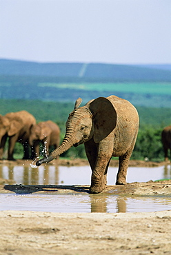 Young African elephant, Loxodonta africana, at waterhole, Addo National Park, South Africa, Africa