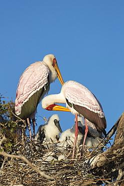 Yellow-billed stork (Mycteria ibis) on nest, Chobe River, Botswana, Africa