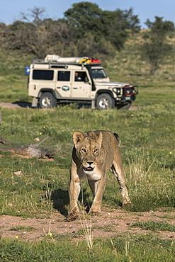 Lion (Panthera leo) with safari tourists, Kgalagadi Transfrontier Park, Northern Cape, South Africa, Africa