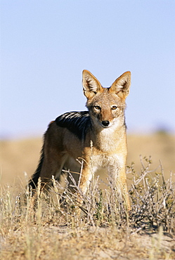 Black-backed jackal, Canis mesomelas, Kalahari Gemsbok, South Africa, Africa