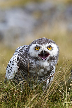 Snowy owl (Bubo scandiacus) juvenile, captive, Cumbria, England, United Kingdom, Europe