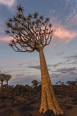 Quiver tree in twilight (kokerboom) (Aloidendron dichotomum), (formerly Aloe dichotoma), Quiver Tree Forest, Keetmanshoop, Namibia, Africa