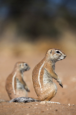 Ground squirrels (Xerus inauris), Kgalagadi Transfrontier Park, Northern Cape, South Africa, Africa