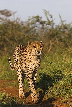 Cheetah (Acinonyx jubatus) female, Zimanga Private Game Reserve, KwaZulu-Natal, South Africa, Africa